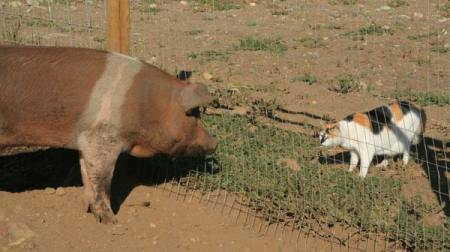 Photo by Marcy Stamper Pigs are credited with having a placid disposition, so they get along well with all kinds of creatures.