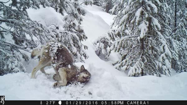 Courtesy of John Danielson A trail camera near the summit of Loup Loup pass captured a photo in late January of a Loup Loup pack wolf rolling in the snow.