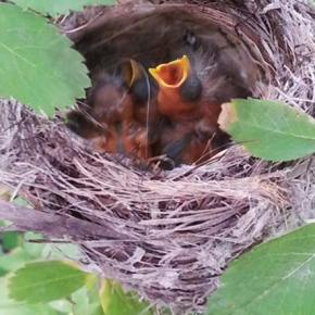 Photo by Darla Hussey Cheep Thrills. A weekend walk on the Sun Mountain trail system found these little birds waiting for their parents to come back with dinner in a nest located perilously close to foot traffic.