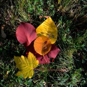 A last blast.  Fall is fading away, but a few leaves are still making an effort to go out in a blaze of glory. Meanwhile, driving conditions in the mountain passes included snow on the highways, although Washington Pass on Highway 20 remained open. Photo by Laurelle Walsh