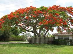 Small Of Royal Poinciana Tree