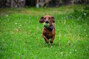 dachshund-361560_640