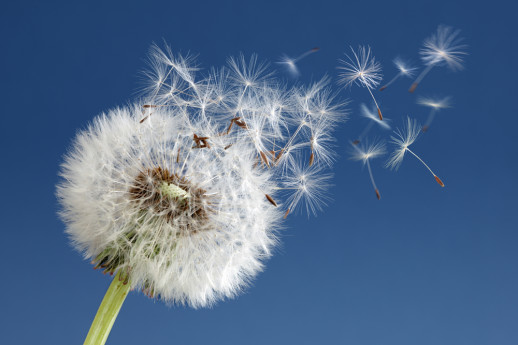Dandelion as a Metaphor for Influence