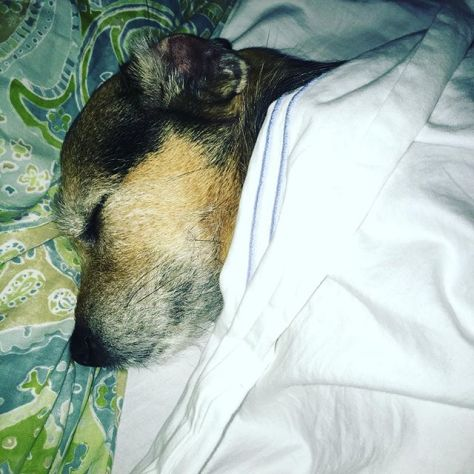 Someone tell this dog he's not people. Dude sleeps under the covers with his head on a pillow. 😴😴😴 #dogsofinstagram #patterdale
