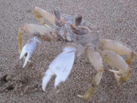 A ghost crab