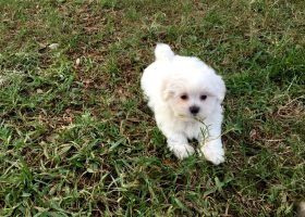 malshi pups for sale in florida