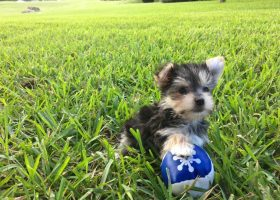 tiny-morkie-or-maltese-yorkie-pups-for-sale-florida-michelines-pups