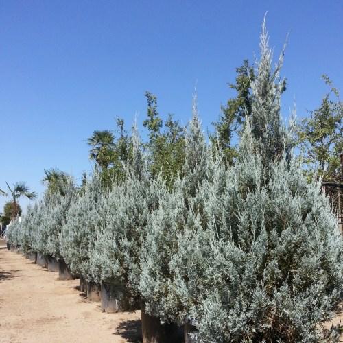 Medium Crop Of Wichita Blue Juniper