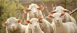 Sheep-588x253
