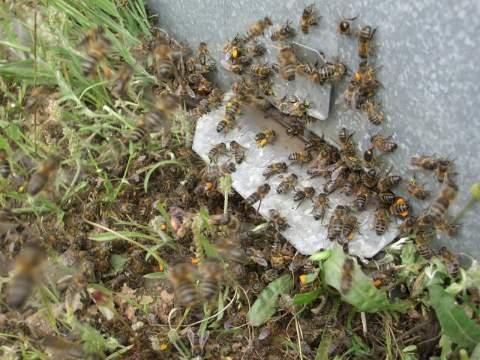 Piquera con abejas metiendo polen