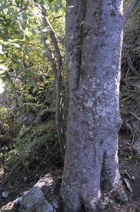 Close up of the trunk of the Diamond Lake matai tree