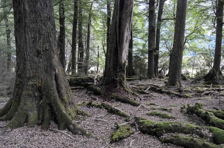 Beech (Nothofagus) forest beside the road to Paradise, New Zealand. The openness here will be partly due to grazing.