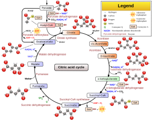 Note the Acetyl and Citrate, resulting from Acetic Acid and Citric Acid, respectively, and their relation to Coenzyme A (CoA). Credit Wikipedia, authored by Narayanese, WikiUserPedia, YassineMrabet, TotoBaggins