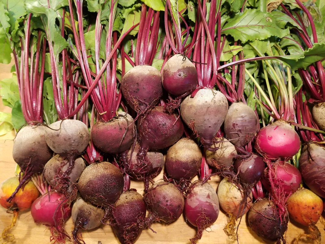 Wonderful Sand S How To Store Beets We Love Beets Roasted Or Steamed How Do You Like Blog Archives Milky Fork Farm How To Store Beets houzz-03 How To Store Beets