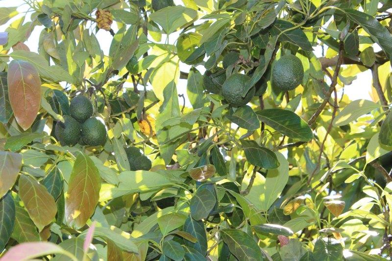 mature avocados