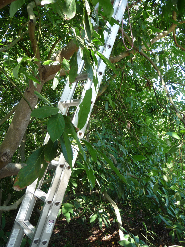 ladder in avocado tree