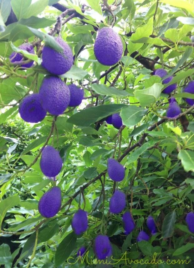 PurpleAvocados