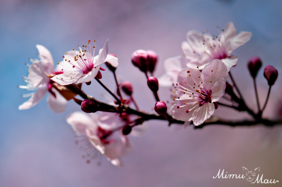 blossomspink