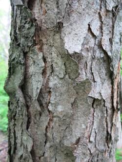 Small Of Cherry Tree Bark