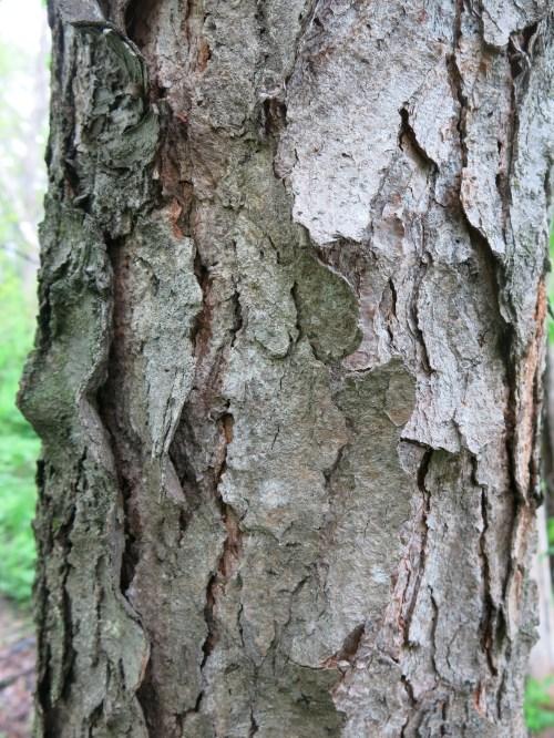 Medium Of Cherry Tree Bark