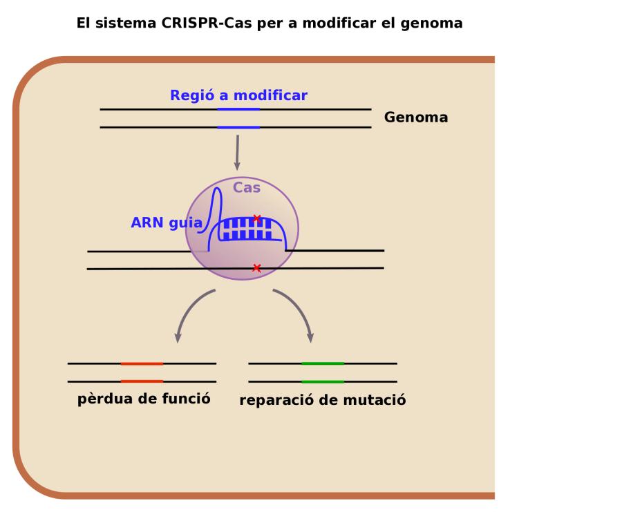 Figura 2: El sistema CRISPR-Cas en el laboratori pot utilitzar-se per provocar mutacions o reparar-ne.