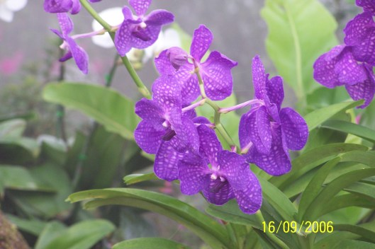 Thailand, blue orchids again.