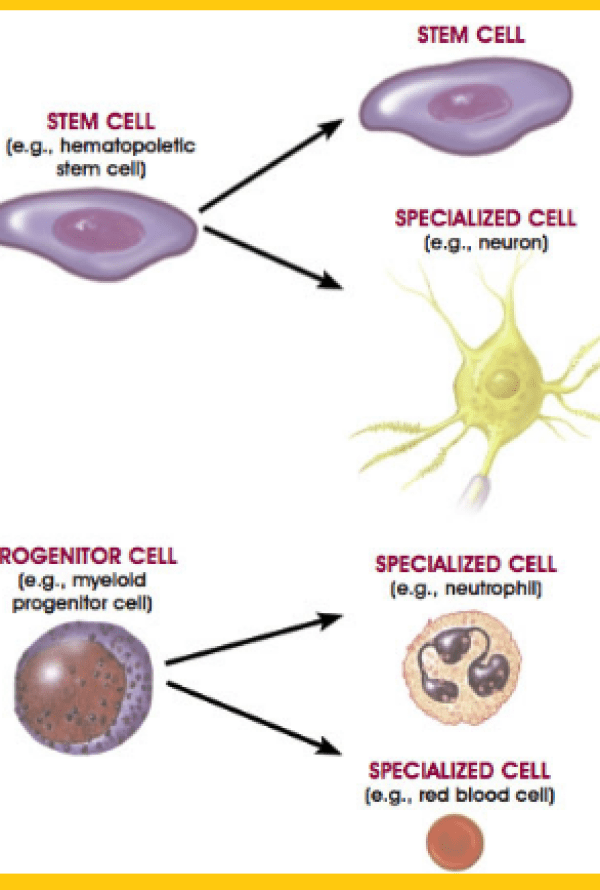 Where Are Adult Stem Cells Found