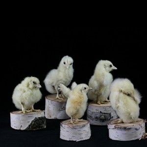 taxidermy baby chicks sold at Paxton's Gate