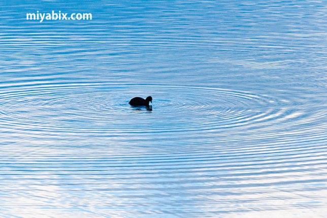 波紋,水鳥