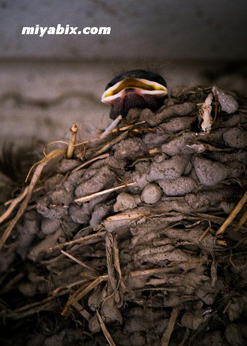 ツバメ,巣
