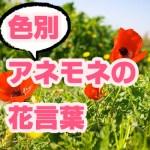 アネモネの花言葉を色別で紹介!赤、ピンク、青、紫、オレンジ、白の意味と由来を解説!