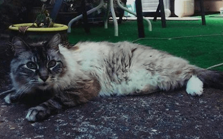 Have you seen this cat? It is missing from its home in Mountlake Terrace. The owner says the cat is not used to being outside. If found, please call the owner at 425-771-5889.