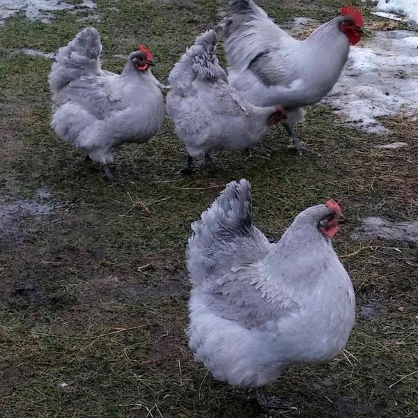 Lavender Orpingtons - M&M Eggs
