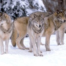 ONTARIO BACKTRACKS ON WOLF PLAN
