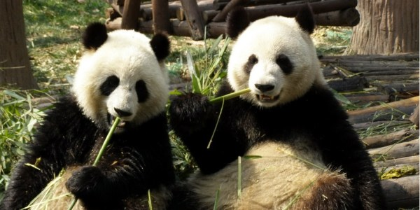 giant-lazy-pandas-eating-bamboos