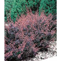 Small Of Rose Glow Barberry