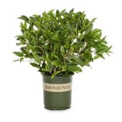 Small Of Tea Olive Tree