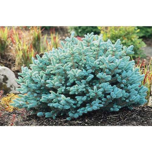 Medium Of Globe Blue Spruce