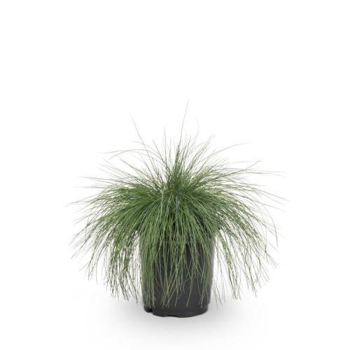 Medium Of Blue Fescue Grass
