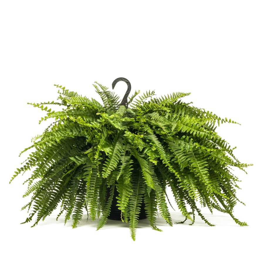 Awesome Hanging Basket Boston Fern Shop Bulbs Seeds At Lowes Gainesville Fl Lowes Garden Center Gainesville Fl houzz 01 Lowes Gainesville Fl