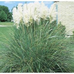 Small Crop Of Dwarf Pampas Grass