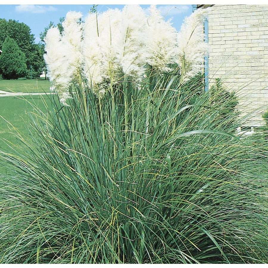 Affordable Pampas Grass Shop Pampas Grass At Lowe S Careers Temple Tx 4206 Lowes Dr Temple Tx houzz 01 Lowes Temple Tx