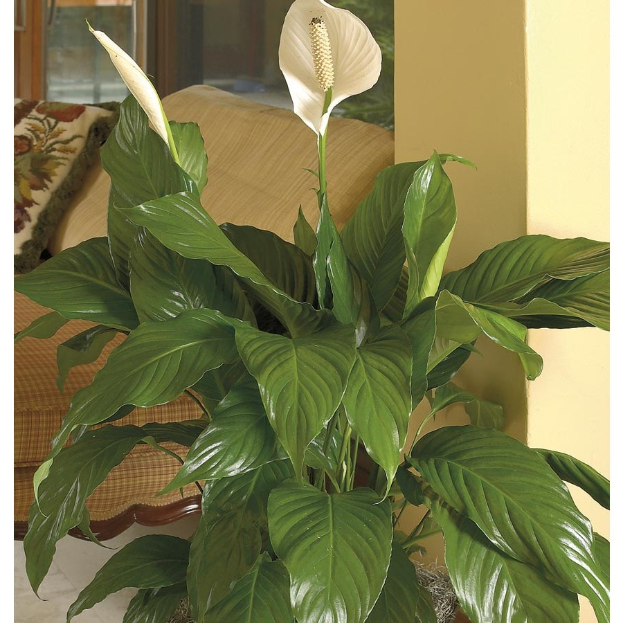 Fancy Peace Lily Shop Peace Lily At Lowes Shopping Center Rancho Cordova Restaurants Near Lowes Rancho Cordova houzz 01 Lowes Rancho Cordova