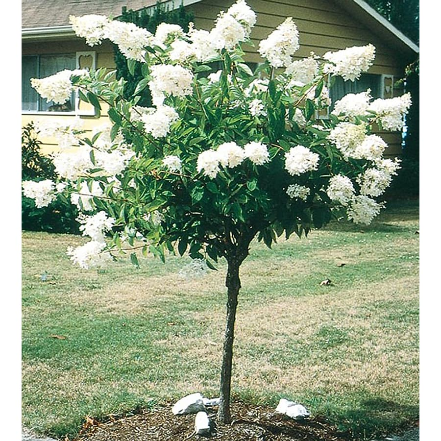 Fullsize Of Limelight Hydrangea Tree