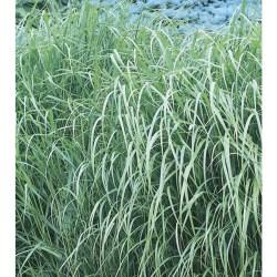 Small Of Shenandoah Switch Grass