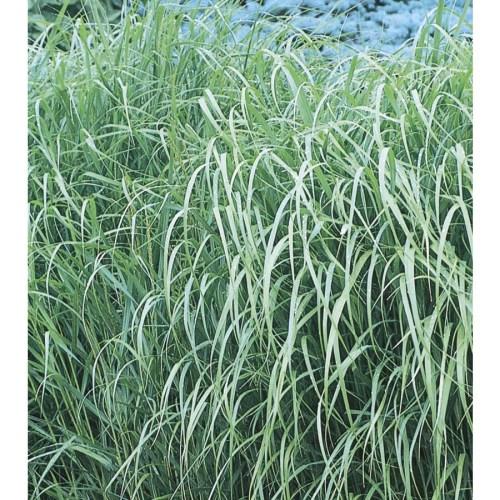 Medium Of Shenandoah Switch Grass