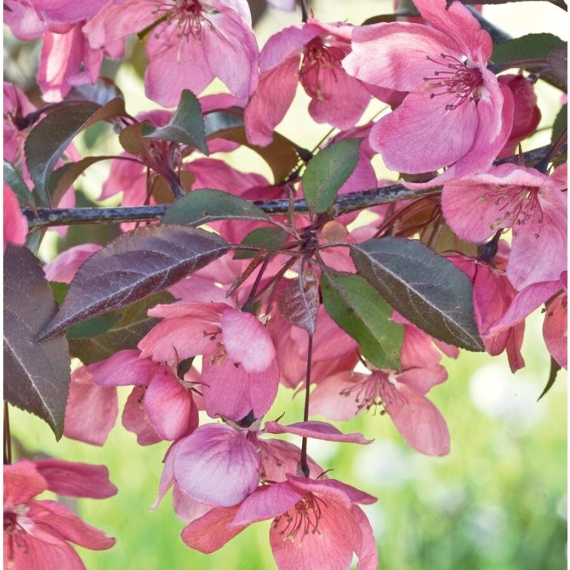 Large Of Purple Flowering Tree