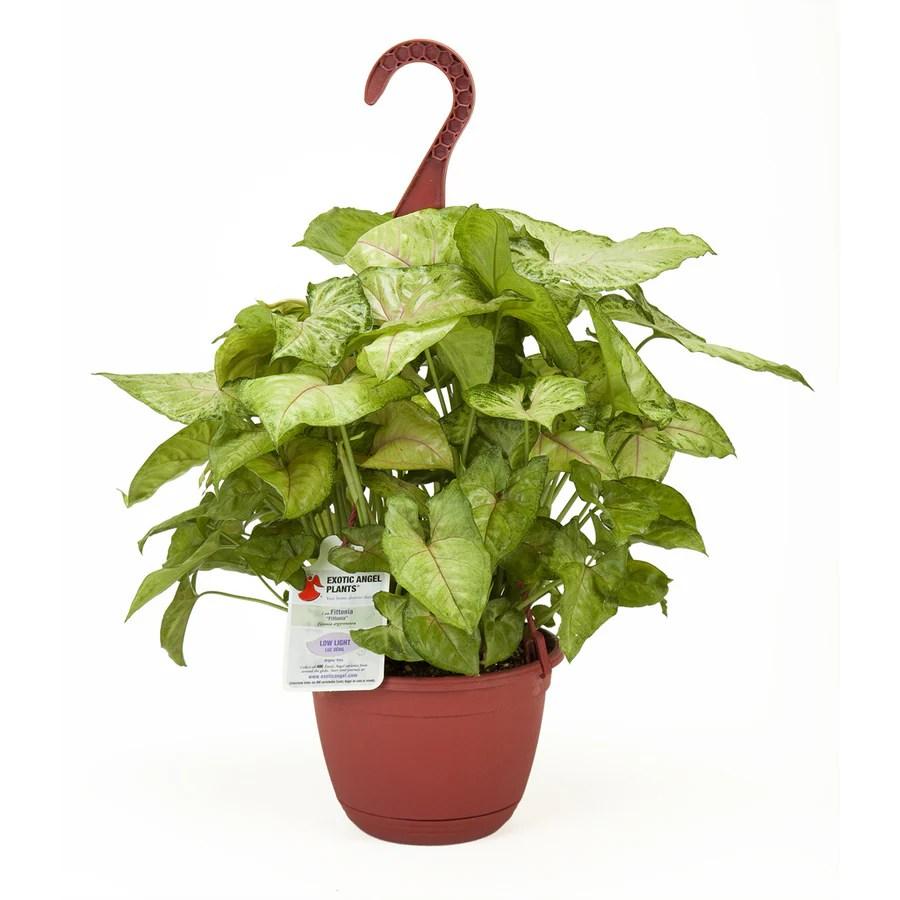Fullsize Of Exotic Angel Plants