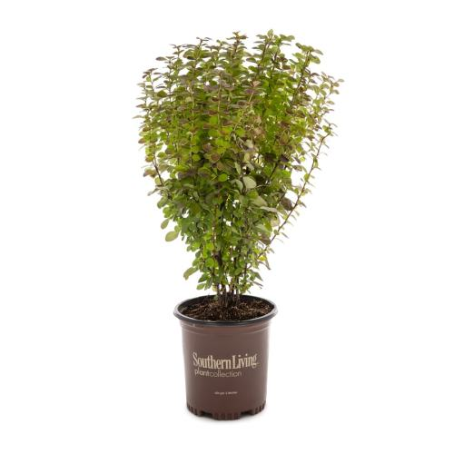 Medium Of Orange Rocket Barberry
