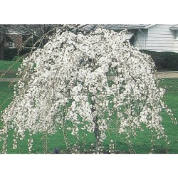Small Of Snow Fountain Weeping Cherry